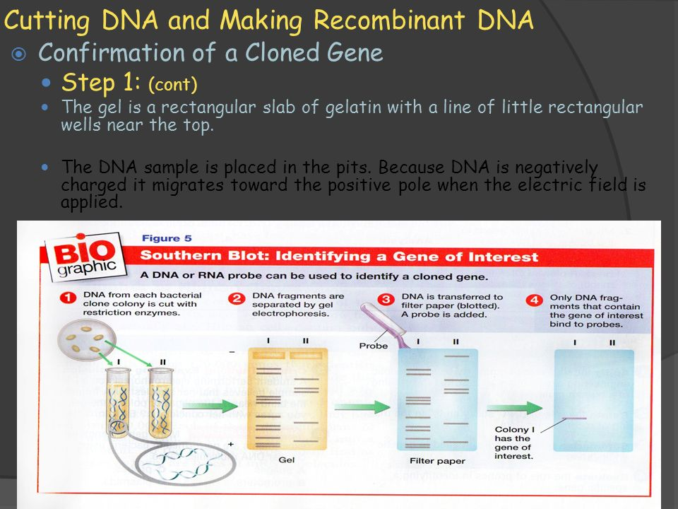 11/1/2009 Cutting DNA and Making Recombinant DNA  Confirmation of a Cloned Gene — Step 1: (cont) — The gel is a rectangular slab of gelatin with a line of little rectangular wells near the top.