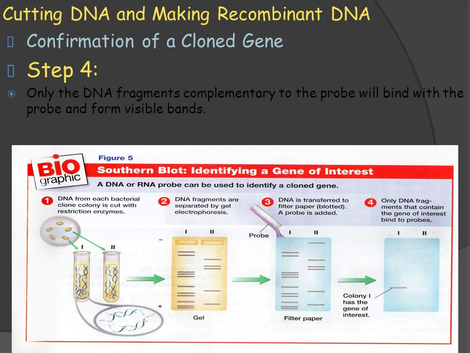 11/1/2009 Cutting DNA and Making Recombinant DNA  Confirmation of a Cloned Gene  Step 4:  Only the DNA fragments complementary to the probe will bind with the probe and form visible bands.