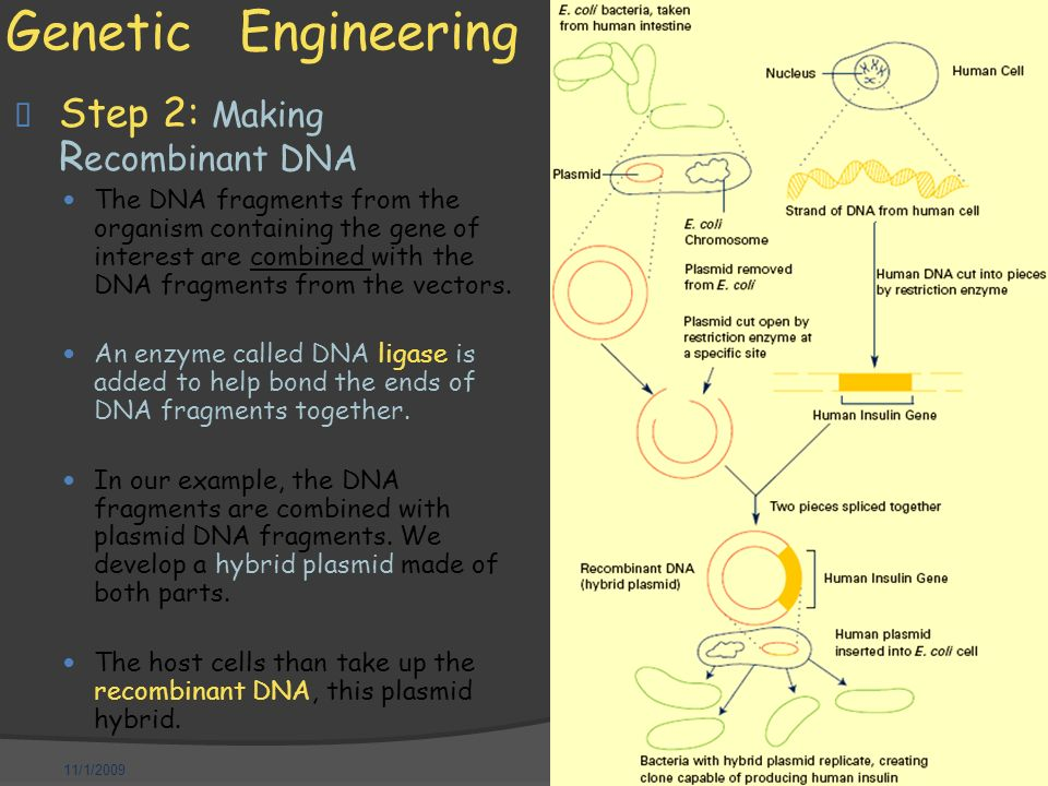 11/1/2009 Genetic Engineering  Step 2: Making R ecombinant DNA — The DNA fragments from the organism containing the gene of interest are combined with the DNA fragments from the vectors.