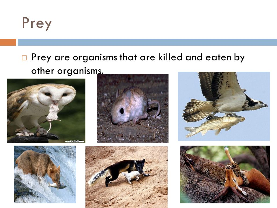Prey  Prey are organisms that are killed and eaten by other organisms.