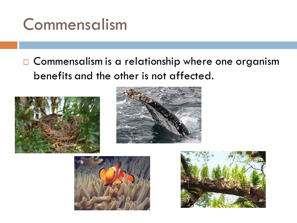 Commensalism  Commensalism is a relationship where one organism benefits and the other is not affected.