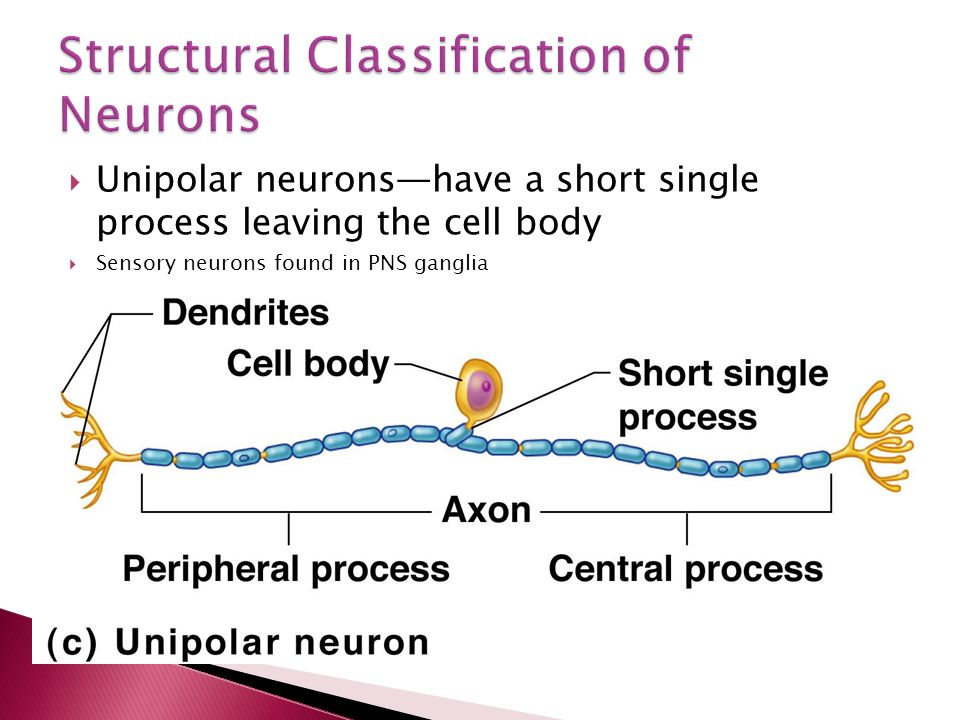  Unipolar neurons—have a short single process leaving the cell body  Sensory neurons found in PNS ganglia Figure 7.8c
