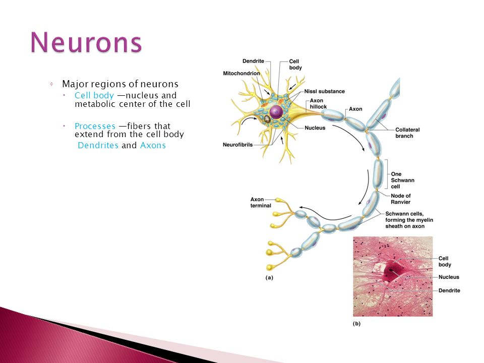 ◦ Major regions of neurons  Cell body —nucleus and metabolic center of the cell  Processes —fibers that extend from the cell body Dendrites and Axons