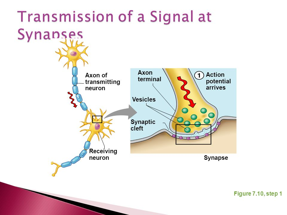 Figure 7.10, step 1 Axon terminal Vesicles Synaptic cleft Action potential arrives Synapse Axon of transmitting neuron Receiving neuron