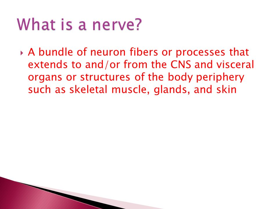  A bundle of neuron fibers or processes that extends to and/or from the CNS and visceral organs or structures of the body periphery such as skeletal muscle, glands, and skin
