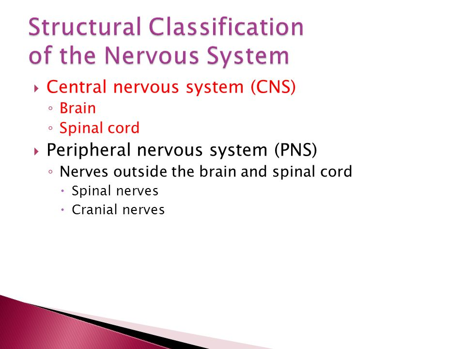  Central nervous system (CNS) ◦ Brain ◦ Spinal cord  Peripheral nervous system (PNS) ◦ Nerves outside the brain and spinal cord  Spinal nerves  Cranial nerves