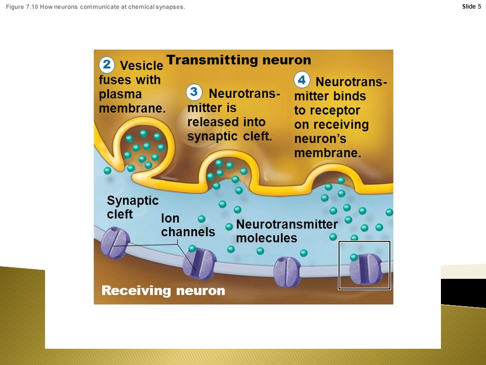 Transmitting neuron Vesicle fuses with plasma membrane.