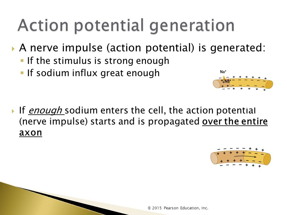  A nerve impulse (action potential) is generated:  If the stimulus is strong enough  If sodium influx great enough  If enough sodium enters the cell, the action potential (nerve impulse) starts and is propagated over the entire axon © 2015 Pearson Education, Inc.