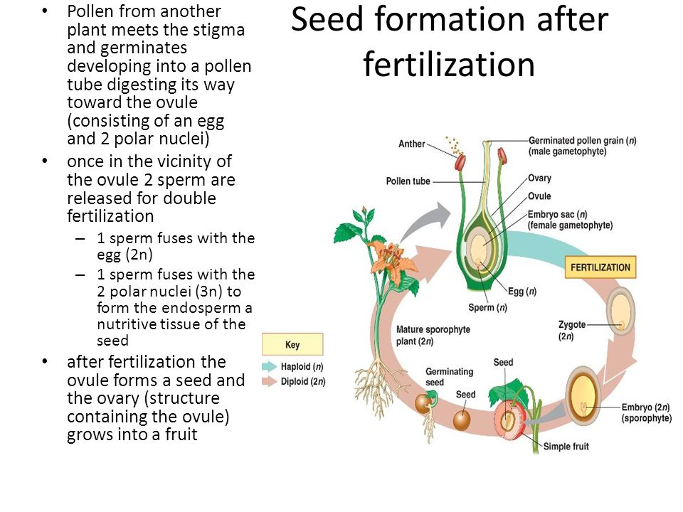 Seed formation after fertilization Pollen from another plant meets the stigma and germinates developing into a pollen tube digesting its way toward the ovule (consisting of an egg and 2 polar nuclei) once in the vicinity of the ovule 2 sperm are released for double fertilization – 1 sperm fuses with the egg (2n) – 1 sperm fuses with the 2 polar nuclei (3n) to form the endosperm a nutritive tissue of the seed after fertilization the ovule forms a seed and the ovary (structure containing the ovule) grows into a fruit