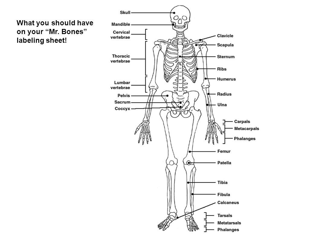 Uncategorized Skeleton Labeling Worksheet skeletal system ppt video online download 50 what you should have on your labeling sheet