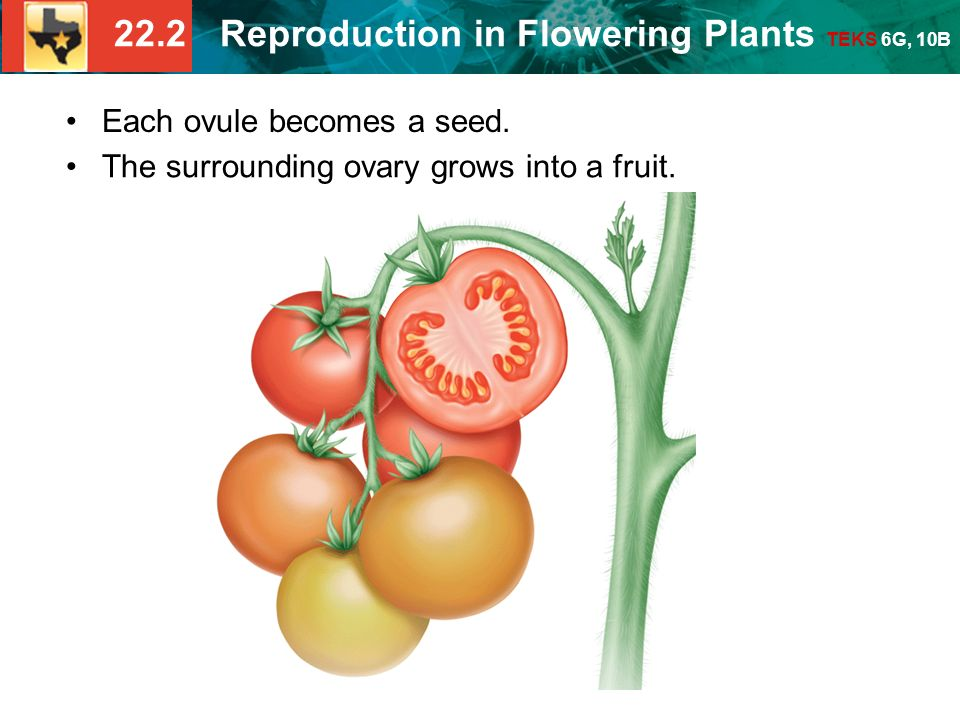 22.2 Reproduction in Flowering Plants TEKS 6G, 10B Each ovule becomes a seed.