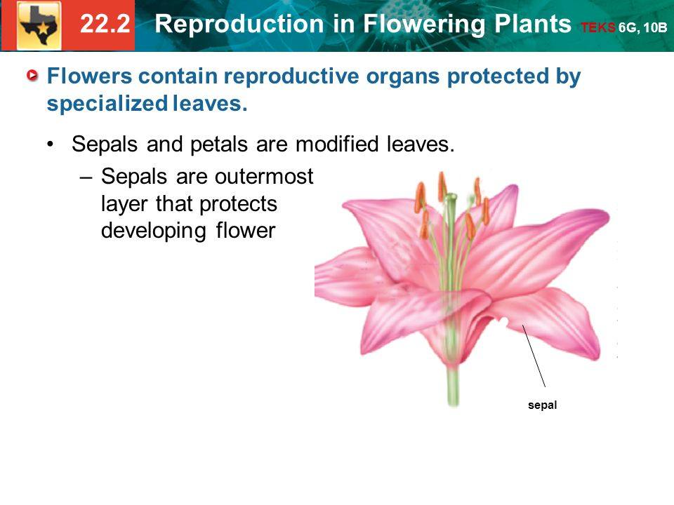 22.2 Reproduction in Flowering Plants TEKS 6G, 10B sepal Flowers contain reproductive organs protected by specialized leaves.