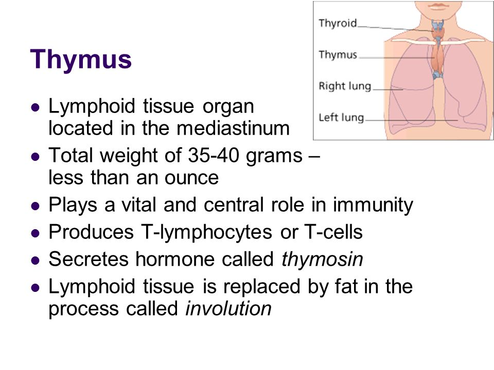 Thymus Lymphoid tissue organ located in the mediastinum Total weight of grams – less than an ounce Plays a vital and central role in immunity Produces T-lymphocytes or T-cells Secretes hormone called thymosin Lymphoid tissue is replaced by fat in the process called involution