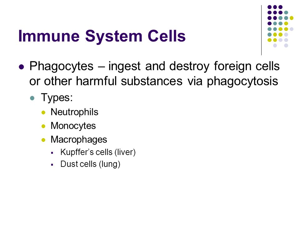 Immune System Cells Phagocytes – ingest and destroy foreign cells or other harmful substances via phagocytosis Types: Neutrophils Monocytes Macrophages  Kupffer's cells (liver)  Dust cells (lung)
