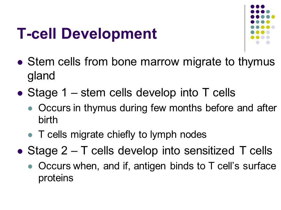 T-cell Development Stem cells from bone marrow migrate to thymus gland Stage 1 – stem cells develop into T cells Occurs in thymus during few months before and after birth T cells migrate chiefly to lymph nodes Stage 2 – T cells develop into sensitized T cells Occurs when, and if, antigen binds to T cell's surface proteins