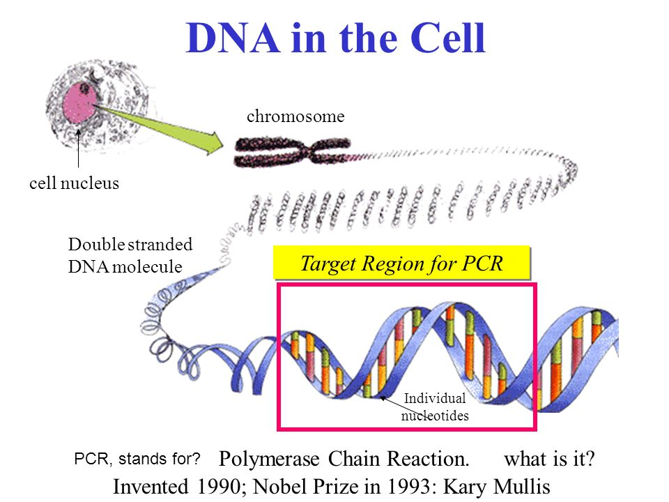 an overview of the polymearse chain reaction in the genetic science Polymerase chain reaction: polymerase chain reaction  pcr is used to diagnose genetic disease and to detect low science dealing with the behaviour of matter.