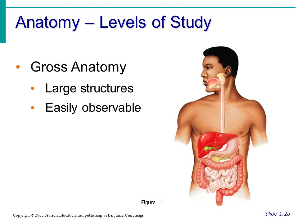 Anatomy – Levels of Study Slide 1.2a Copyright © 2003 Pearson Education, Inc.