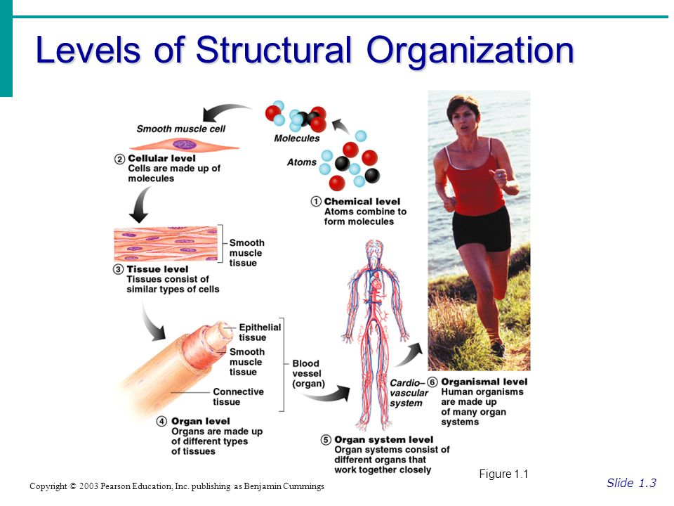 Levels of Structural Organization Slide 1.3 Copyright © 2003 Pearson Education, Inc.