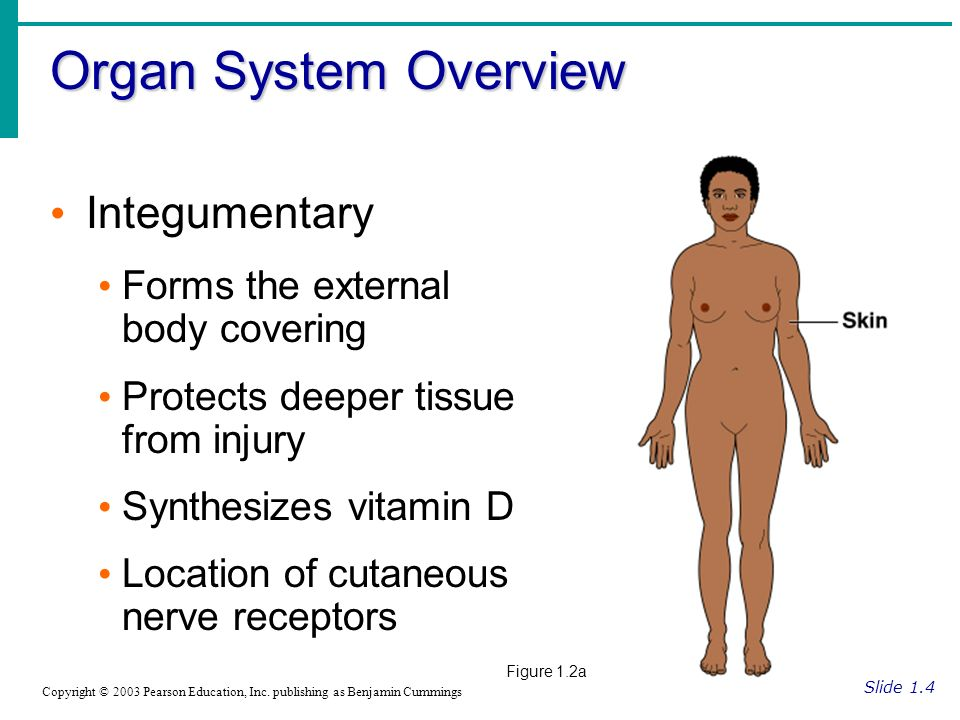 Organ System Overview Slide 1.4 Copyright © 2003 Pearson Education, Inc.