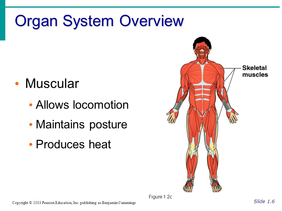 Organ System Overview Slide 1.6 Copyright © 2003 Pearson Education, Inc.