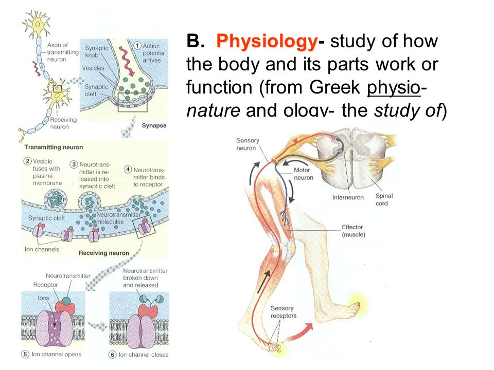 Unit 6 Human Physiology Systems Review. I. Anatomy and Physiology ...