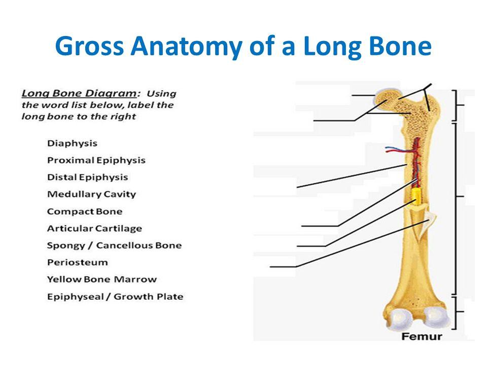 Skeletal System. Bone Functions 1.support: hard framework that ...