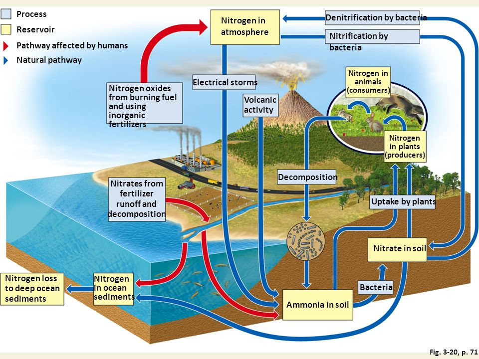 Process Nitrogen in atmosphere Denitrification by bacteria Reservoir Nitrification by bacteria Pathway affected by humans Natural pathway Nitrogen in animals (consumers) Nitrogen oxides from burning fuel and using inorganic fertilizers Volcanic activity Electrical storms Nitrogen in plants (producers) Decomposition Nitrates from fertilizer runoff and decomposition Uptake by plants Nitrate in soil Nitrogen loss to deep ocean sediments Nitrogen in ocean sediments Bacteria Ammonia in soil