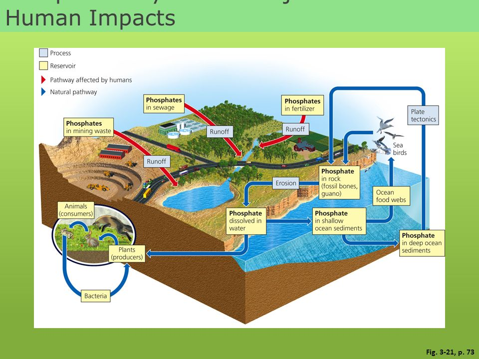 Phosphorus Cycle with Major Harmful Human Impacts Fig. 3-21, p. 73