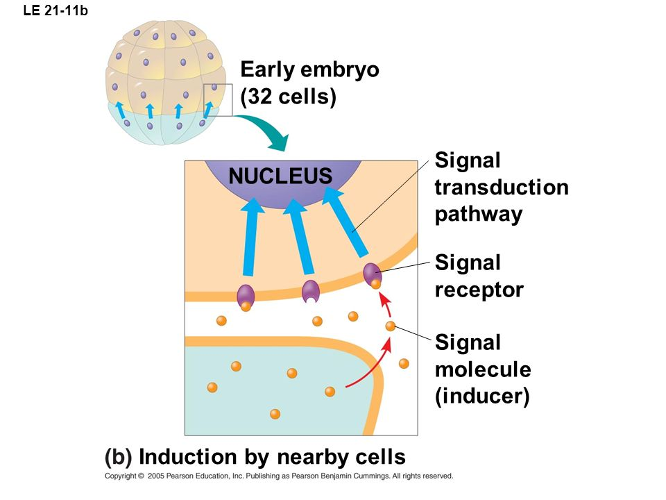 LE 21-11b Early embryo (32 cells) Signal transduction pathway Signal receptor Signal molecule (inducer) NUCLEUS Induction by nearby cells
