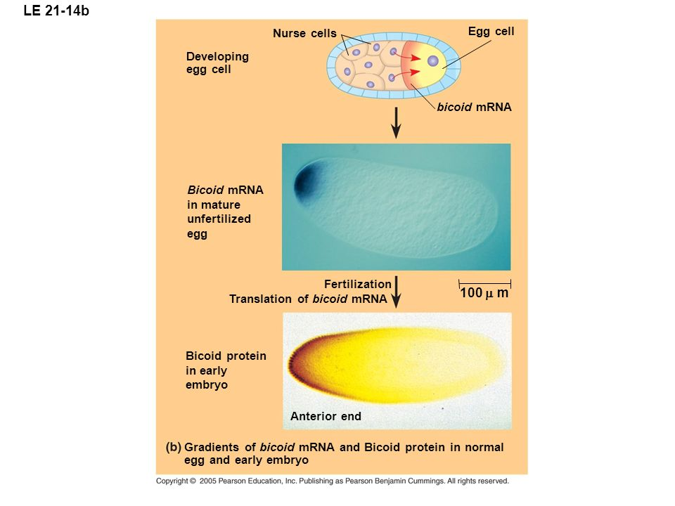 LE 21-14b Developing egg cell Bicoid mRNA in mature unfertilized egg Nurse cells Egg cell bicoid mRNA Bicoid protein in early embryo Fertilization Translation of bicoid mRNA 100  Anterior end Gradients of bicoid mRNA and Bicoid protein in normal egg and early embryo m