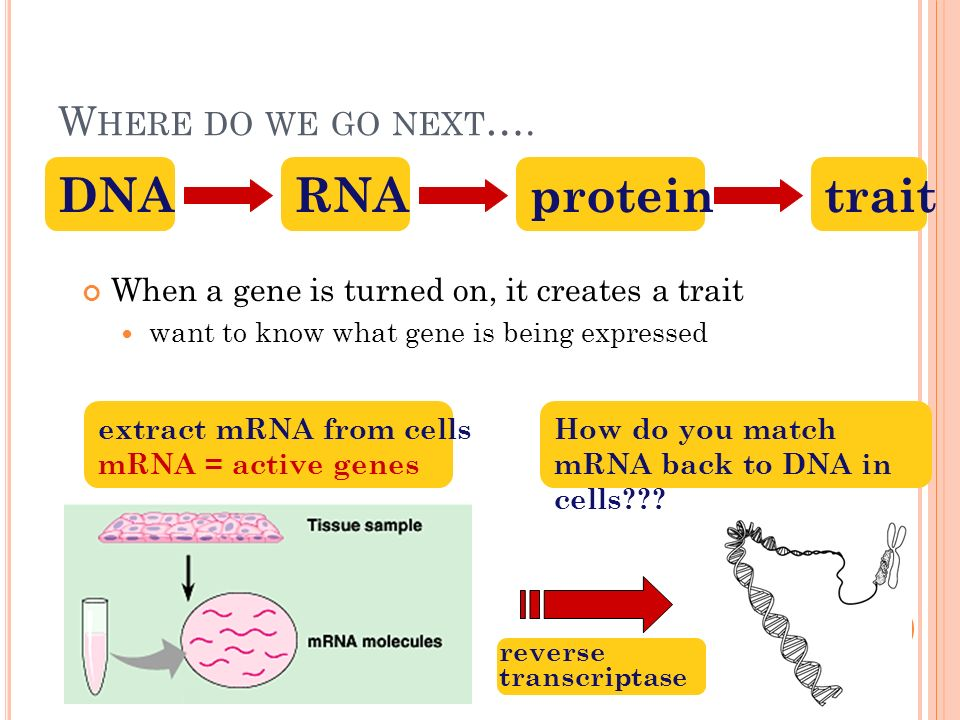 C DNA ( COPY DNA) LIBRARIES Collection of only the coding sequences of expressed genes extract mRNA from cells reverse transcriptase RNA  DNA from retroviruses clone into plasmid Applications need edited DNA for expression in bacteria human insulin