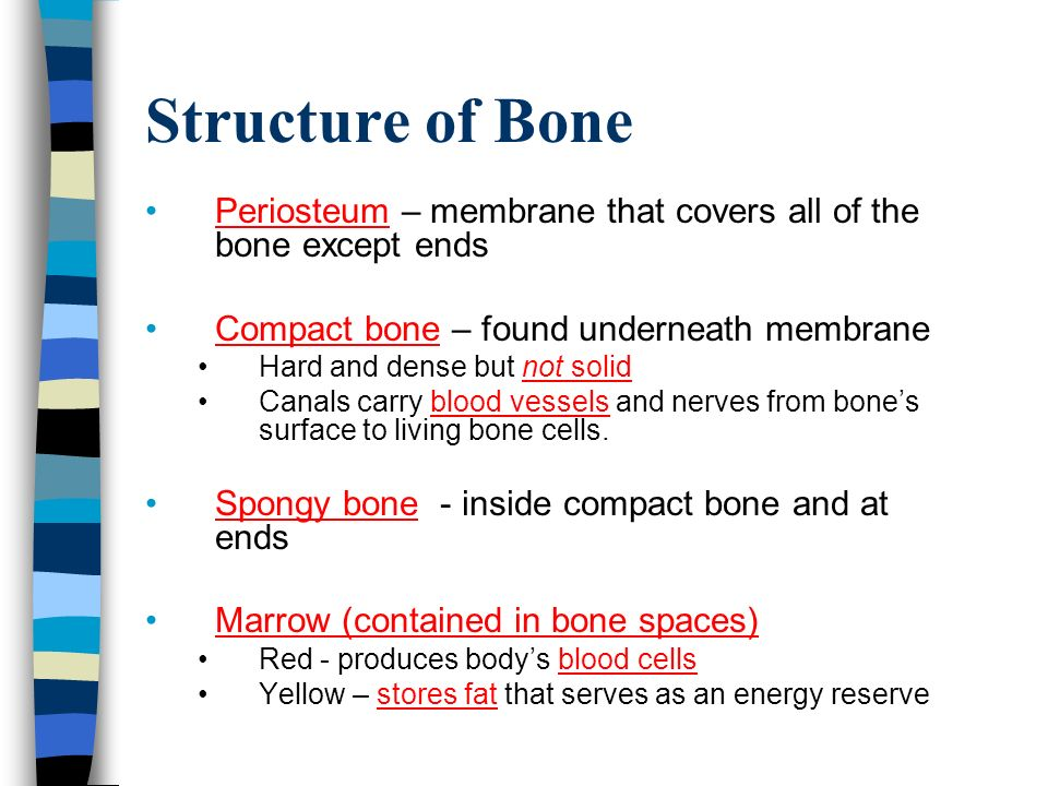 Structure of Bone Periosteum – membrane that covers all of the bone except ends Compact bone – found underneath membrane Hard and dense but not solid Canals carry blood vessels and nerves from bone's surface to living bone cells.