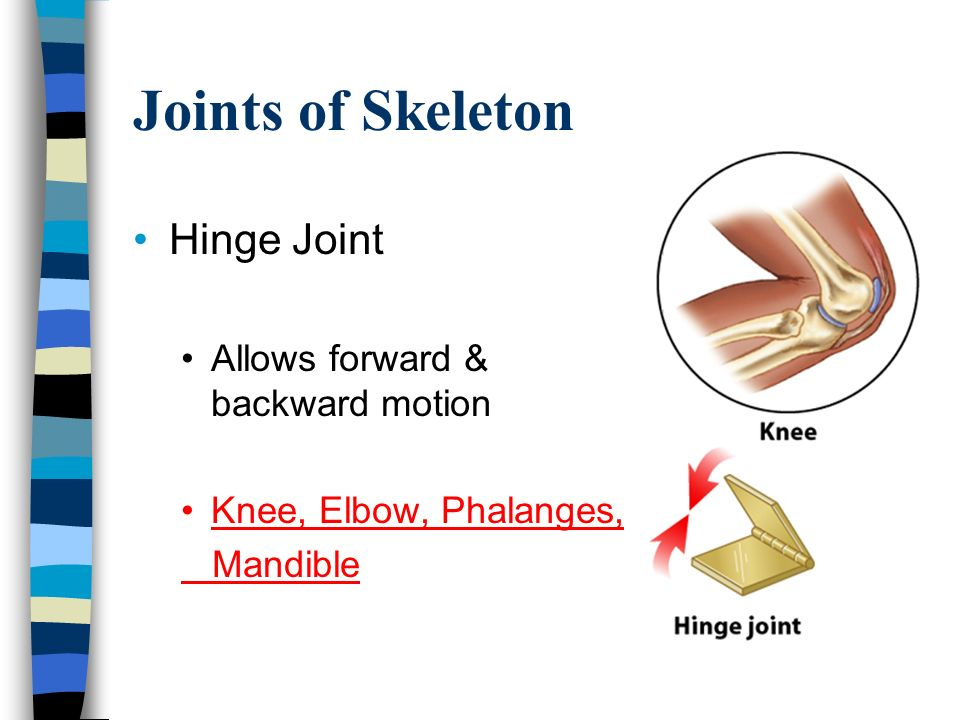 Joints of Skeleton Hinge Joint Allows forward & backward motion Knee, Elbow, Phalanges, Mandible