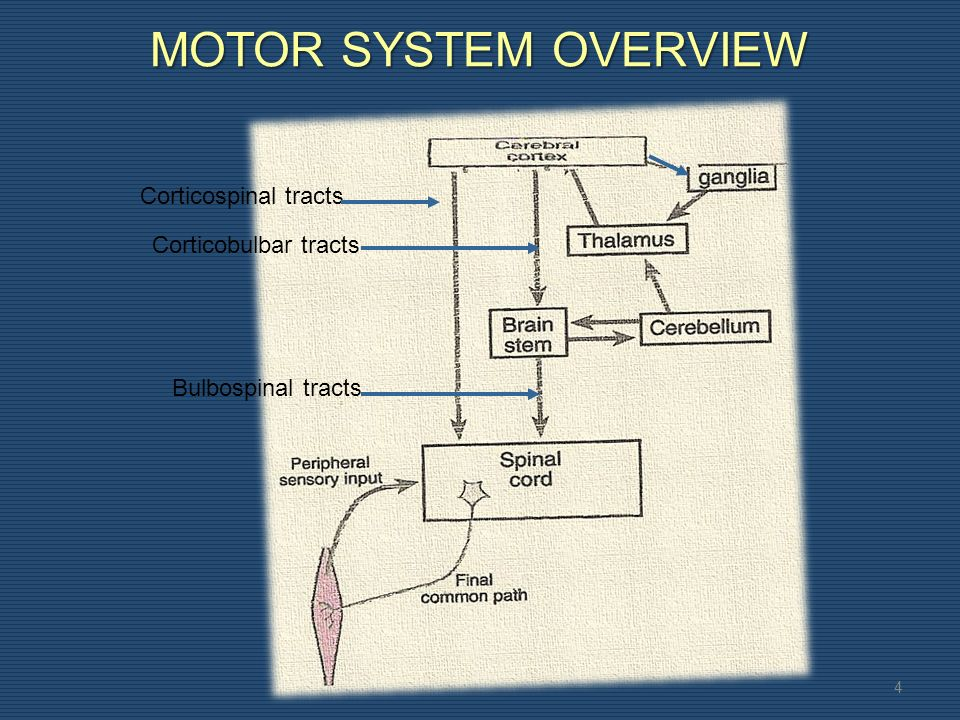 MOTOR SYSTEM OVERVIEW 4 Corticospinal tracts Corticobulbar tracts Bulbospinal tracts