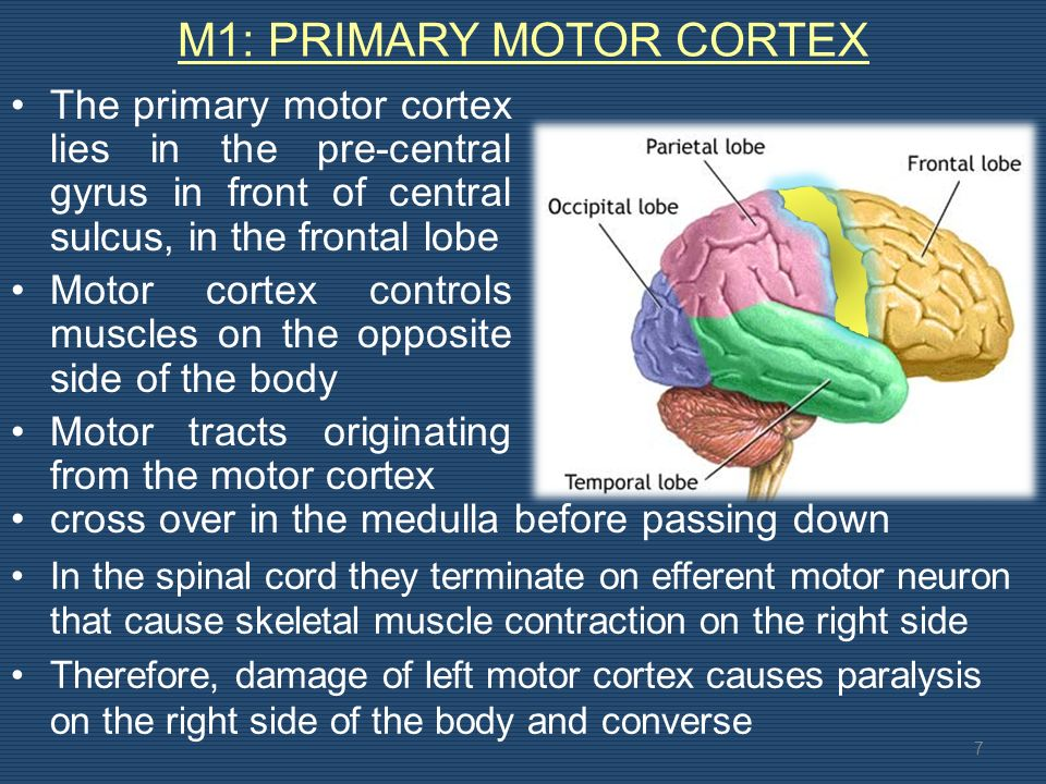 M1: PRIMARY MOTOR CORTEX The primary motor cortex lies in the pre-central gyrus in front of central sulcus, in the frontal lobe Motor cortex controls muscles on the opposite side of the body Motor tracts originating from the motor cortex 7 In the spinal cord they terminate on efferent motor neuron that cause skeletal muscle contraction on the right side Therefore, damage of left motor cortex causes paralysis on the right side of the body and converse cross over in the medulla before passing down
