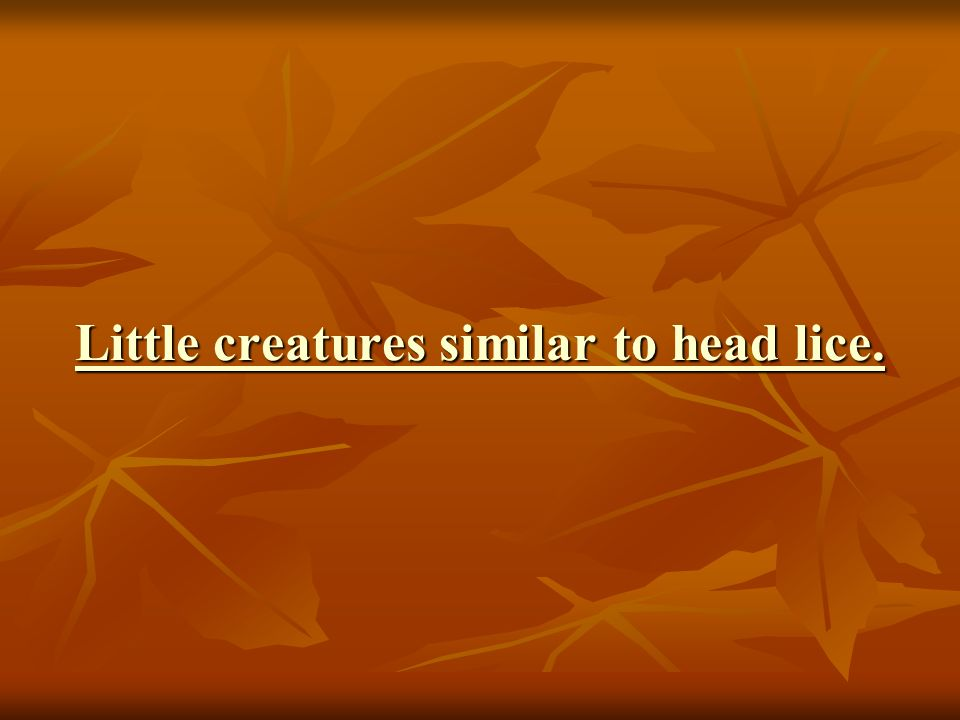 Little creatures similar to head lice. Little creatures similar to head lice.