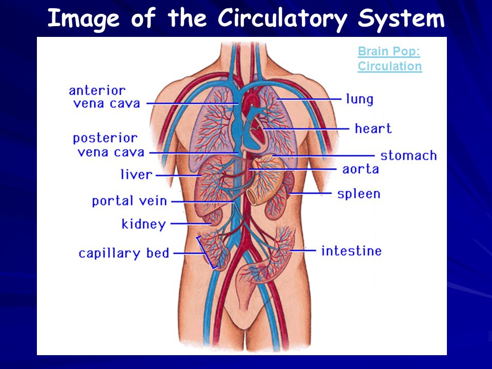 Image of the Circulatory System Brain Pop: Circulation