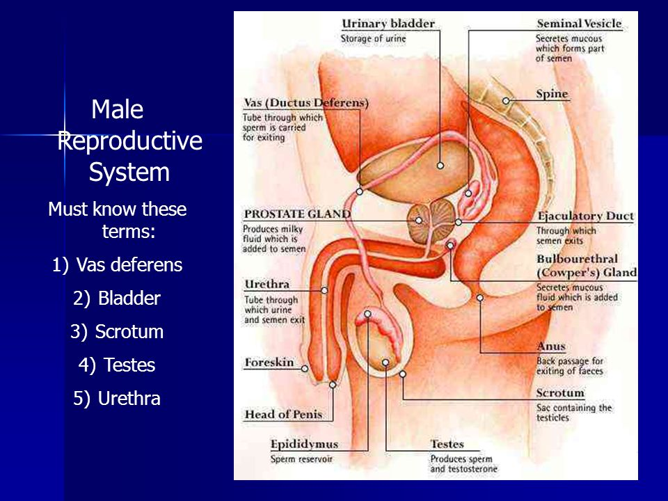 Male Reproductive System Must know these terms: 1)Vas deferens 2)Bladder 3)Scrotum 4)Testes 5)Urethra