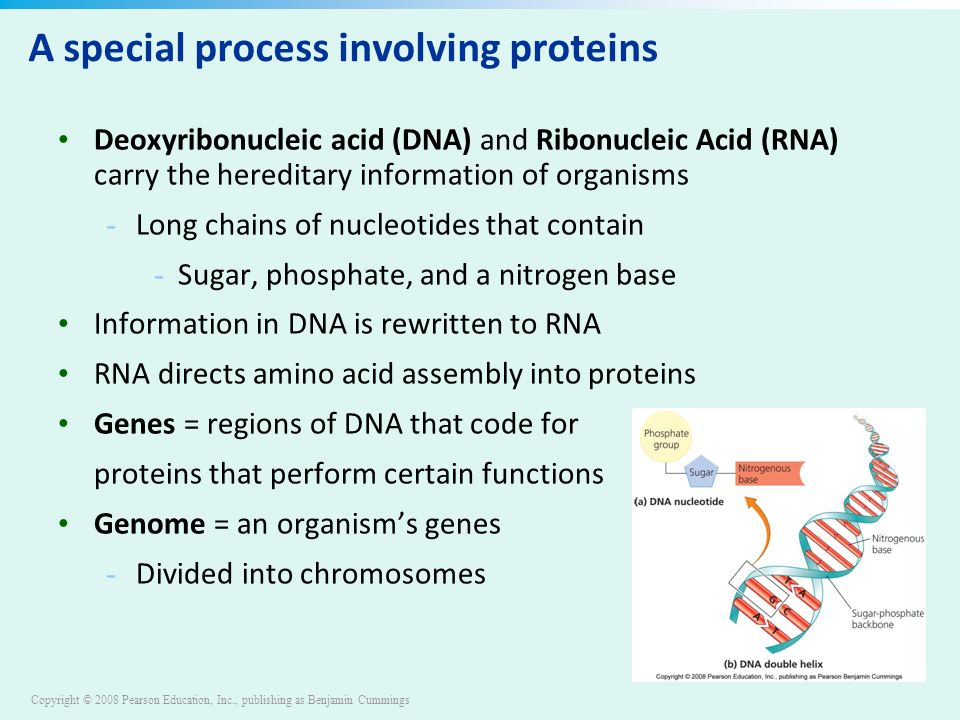 Copyright © 2008 Pearson Education, Inc., publishing as Benjamin Cummings A special process involving proteins Deoxyribonucleic acid (DNA) and Ribonucleic Acid (RNA) carry the hereditary information of organisms - Long chains of nucleotides that contain - Sugar, phosphate, and a nitrogen base Information in DNA is rewritten to RNA RNA directs amino acid assembly into proteins Genes = regions of DNA that code for proteins that perform certain functions Genome = an organism's genes - Divided into chromosomes