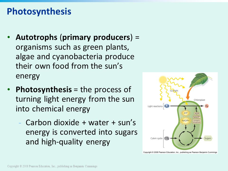 Copyright © 2008 Pearson Education, Inc., publishing as Benjamin Cummings Photosynthesis Autotrophs (primary producers) = organisms such as green plants, algae and cyanobacteria produce their own food from the sun's energy Photosynthesis = the process of turning light energy from the sun into chemical energy - Carbon dioxide + water + sun's energy is converted into sugars and high-quality energy