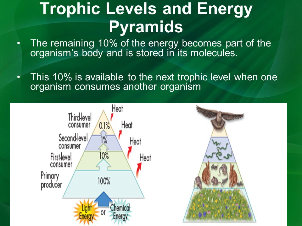 Trophic Levels and Energy Pyramids The remaining 10% of the energy becomes part of the organism's body and is stored in its molecules.
