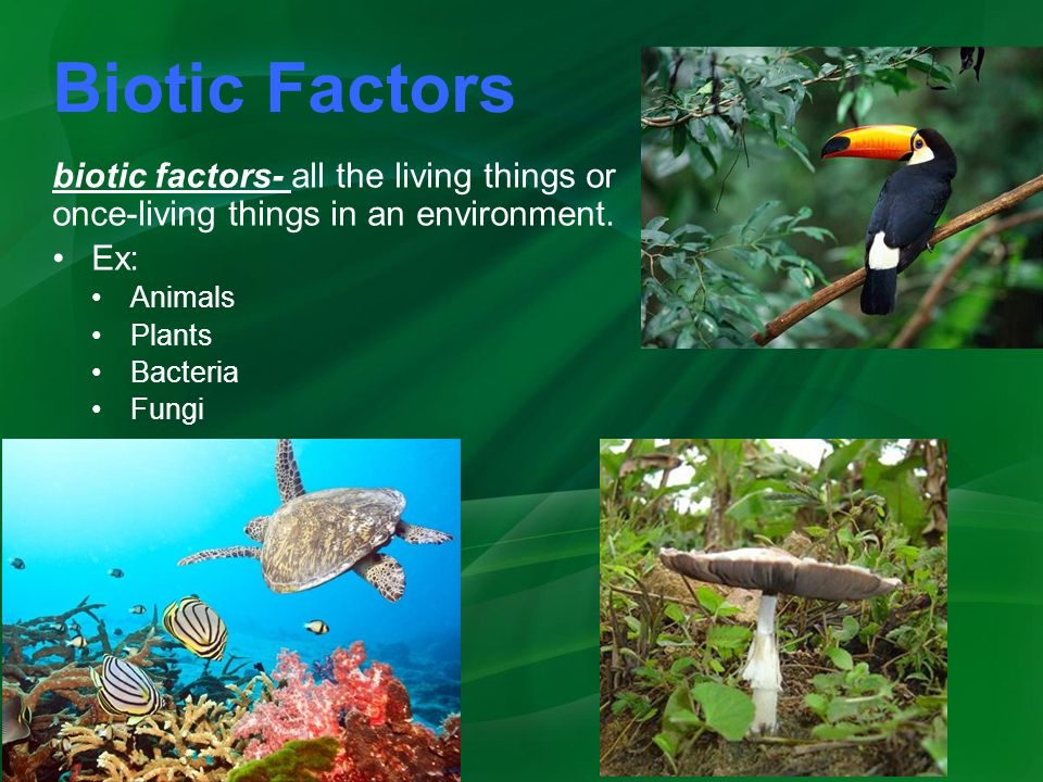 Biotic Factors biotic factors- all the living things or once-living things in an environment.