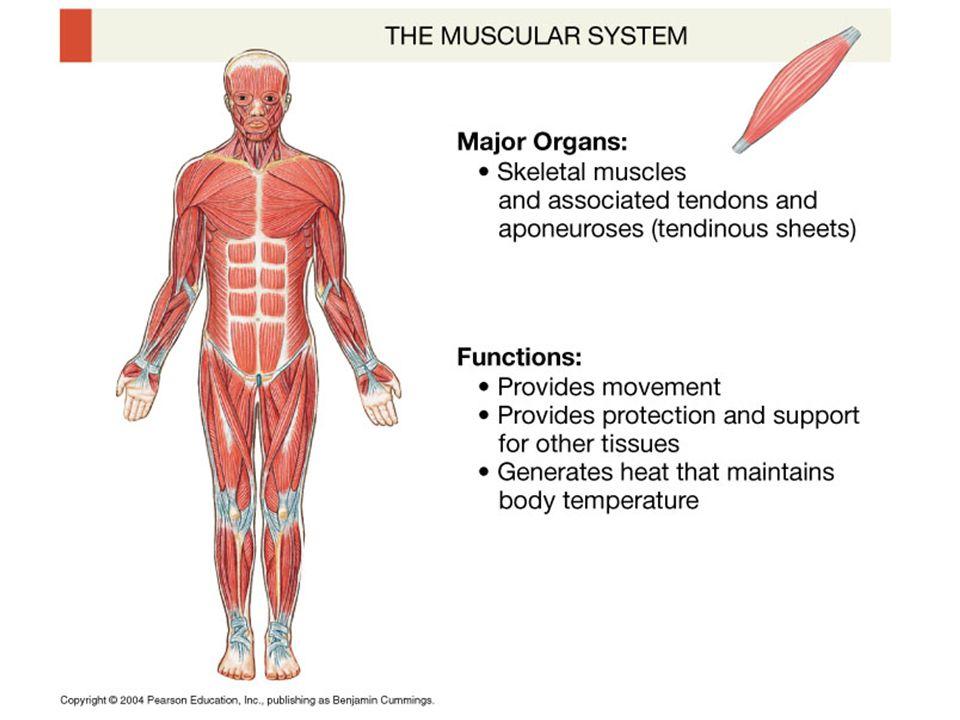 SEER Training: Structure of Skeletal Muscle