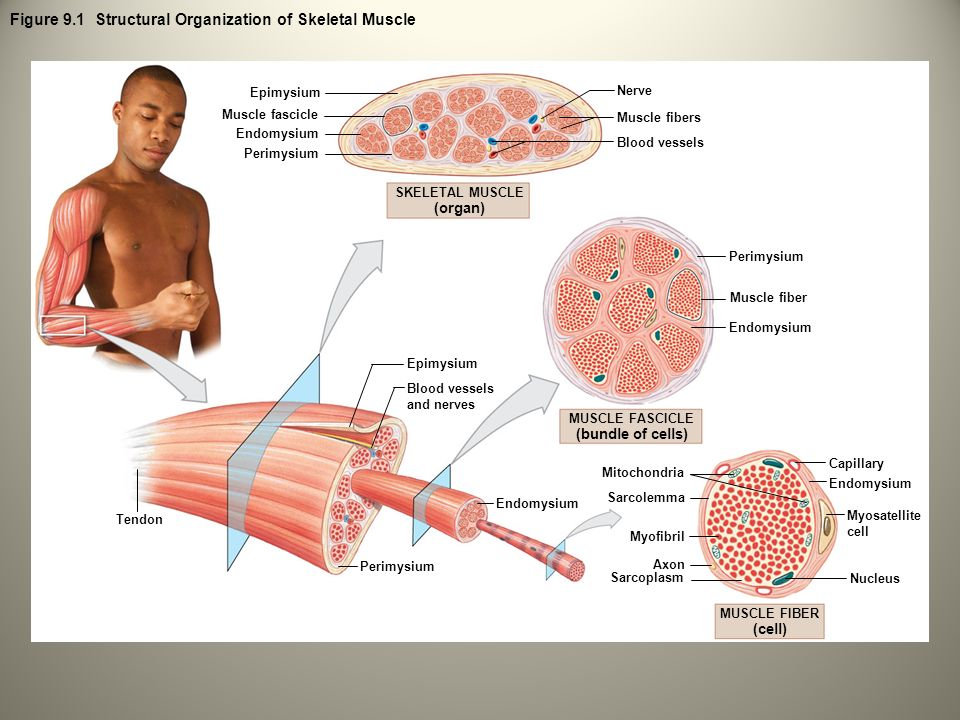 9 The Muscular System: Skeletal Muscle Tissue and Organization ...