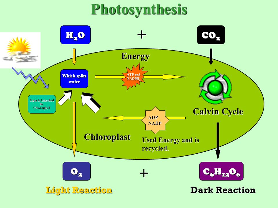Photosynthesis an overview the leaf the chloroplast ppt download 4 photosynthesis h2oh2oh2oh2o ccuart Image collections