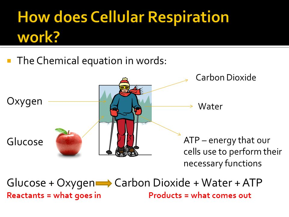  The Chemical equation in words: Oxygen Glucose Glucose + Oxygen Carbon Dioxide + Water + ATP Reactants = what goes in Products = what comes out Carbon Dioxide Water ATP – energy that our cells use to perform their necessary functions