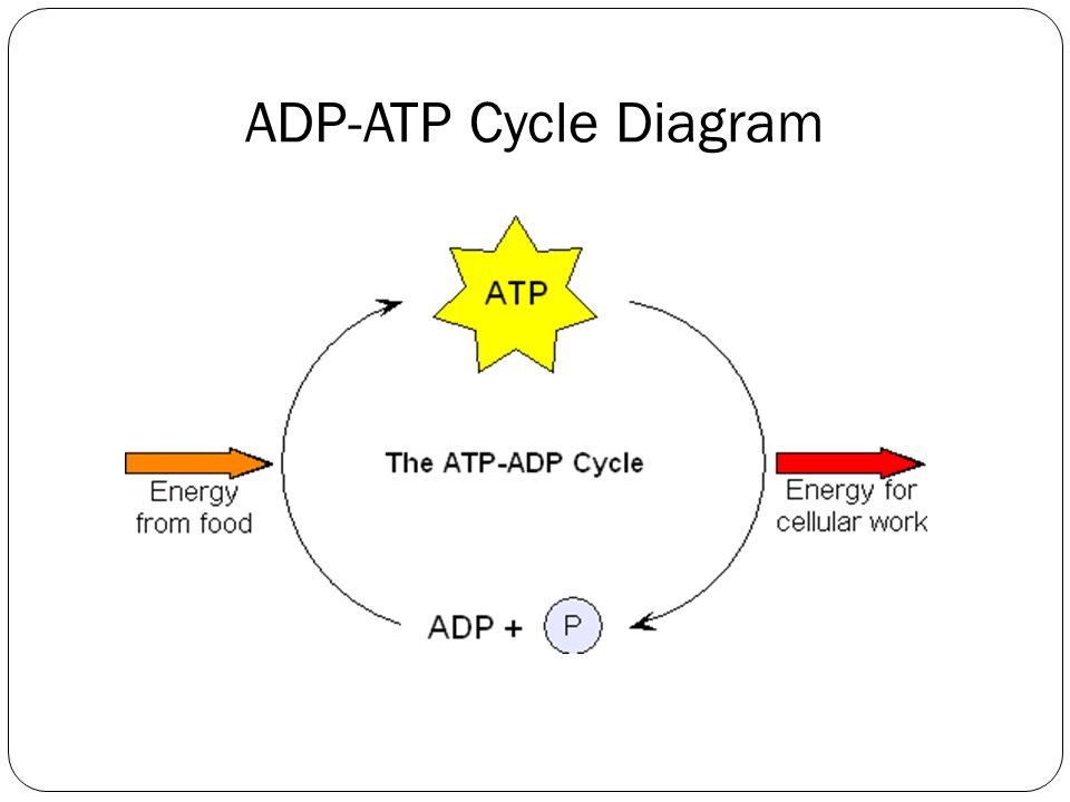 chemical energy and atp section 4 1 organisms are classified  : diagram of atp - findchart.co