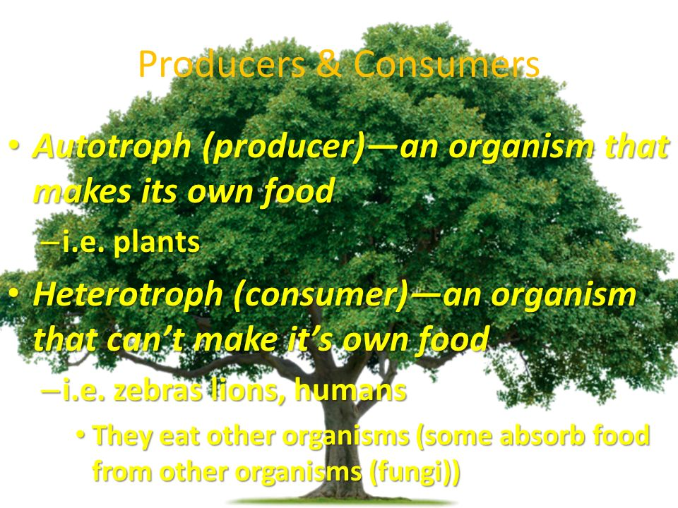 Producers & Consumers Autotroph (producer)—an organism that makes its own food Autotroph (producer)—an organism that makes its own food – i.e.