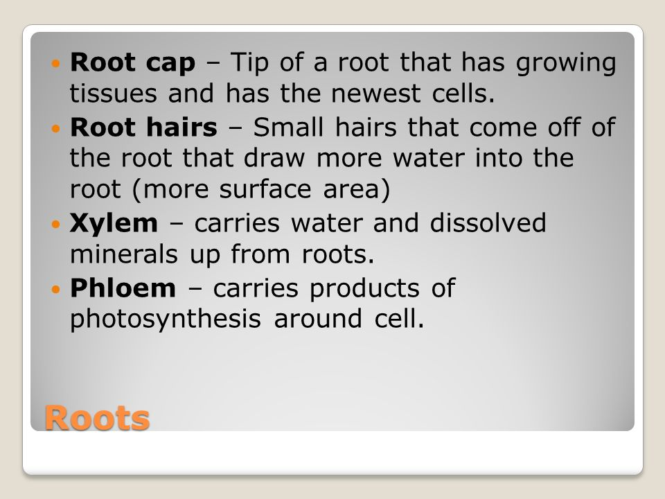 Roots Root cap – Tip of a root that has growing tissues and has the newest cells.