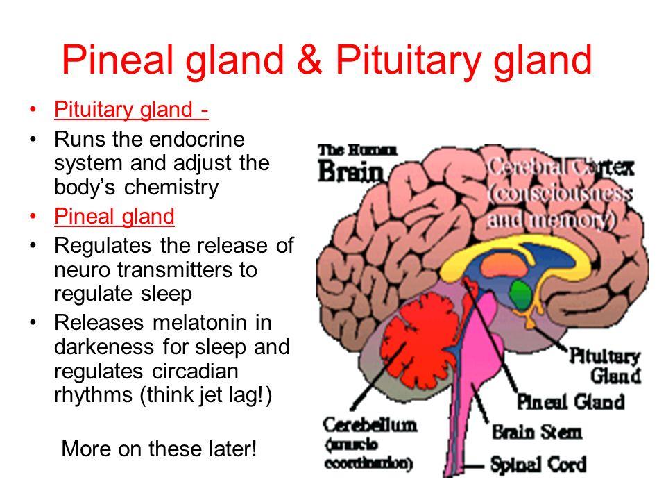 memory gland in brain